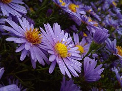 After a Morning Shower (2) (jeanette.horvath //Jeanne//) Tags: flowers autumn plants plant flower fall nature wet rain garden purple rainy bloom raindrops aster blooming