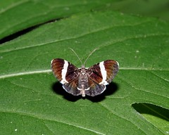White Striped Black (rexp2) Tags: insect moth extensiontube nikkormicro105mmf28 zerene sonyalpha7rilce7ra7r nikonsb26speedlightflash