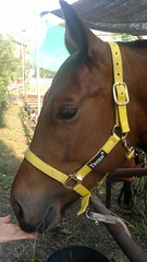 Gianduja (Clerss Malisha) Tags: horses horse pet cute animal animals mammal dolce elegant cavalli cavallo domestico animali animale simpatico elegante tenero mammifero