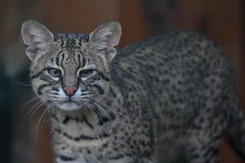 Geoffroy's cat (Kleinfleckkatze oder Salzkatze)