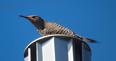 Wake up call ~ Flicker (Karen McQuilkin) Tags: flicker bird drummer roof utah wakeupcall earlymorning flickeronflickr racket noise drumming fickr