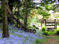 Photo of Bluebell study.