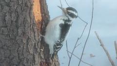Big Hairy (blazer8696) Tags: 2017 brookfield ct connecticut ecw obtusehill t2017 usa unitedstates hairy hairywoodpecker img6428 picidae piciformes picoides picoidesvillosus villosus woodpecker