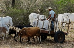 Cattle (Hear and Their) Tags: fray benito holguin cuba cattle beef herd oxen ox
