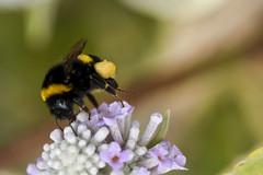 reine du printemps (Doriane Boilly Photographie Nature) Tags: bourdon printemps butine matin fleurs champs insecte illustration couleur nature extérieur jardin cakme