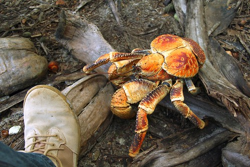 "Robber crab • <a style=""font-size:0.8em;"" href=""http://www.flickr.com/photos/137365235@N06/33351482042/"" target=""_blank""></noscript>View on Flickr</a>"