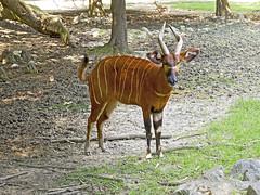 Memphis Zoo 08-31-2016 - Bongo 12 (David441491) Tags: bongo antelope memphiszoo