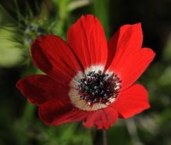 20160331-017F (m-klueber.de) Tags: 20160331017f 20160320 2016 mkbildkatalog griechenland attika südeuropäische mediterrane ostmediterrane flora ranunculaceae hahnenfusgewächse anemone coronaria kronenanemone kronen