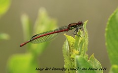 Large Red Damselfly_Male_signed