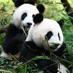 "Panda, Sichuan <a style=""margin-left:10px; font-size:0.8em;"" href=""http://www.flickr.com/photos/92039376@N04/14172782149/"" target=""_blank"">@flickr</a>"