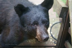 Black Bear (JMK Birder) Tags: nature wildlife juvenile blackbear tollandct tollandanimalcontrol