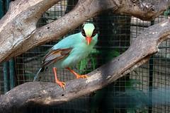 bird thailand zoo turquoise cage captive corvidae captivated cissa greenmagpie cissachinensis