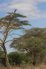 MARABOU STORK IN ACACIA TREE, NAIROBI GAME PARK, KENYA 2014 (nordique72) Tags: animals landscape kenya nairobi lion zebra giraffe baboon wildebeast eland waterbuffalo warthog gamepark whiterhinoceros egyptiangoose osterich masaigiraffe ngonghills acaciatree thompsonsgazelle velvetmonkey crownbird animalsofkenya hardebeast maracoustork