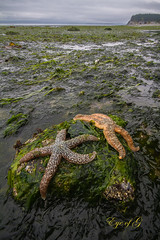 Finding Low Tide Safety.jpg (Eye of G Photography) Tags: usa seaweed beach starfish places whidbeyisland northamerica pugetsound lowtide washingtonstate munitybay