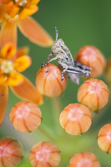 Baby grasshopper on butterfly weed, Lincoln Park (billeguerriero) Tags: chicago macro grasshopper chicagoist
