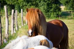Summer 2013 (Bettina H.) Tags: pony stallion hengst hestur icelandichorses islandpferde isländer reiterhofgrosbriesen