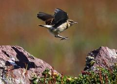 Hop, skip and a jump (Sue Wolfe) Tags: nature birds islands wildlife birding cymru pembrokeshire birdwatching waders seabirds skokholm wildlifetrusts skokholmisland wildlifetrustofsouthandwestwales welshwildlifebreaks pembrokeshireislands