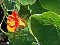 Nasturtium-- I saw it, I shot it, I ate it... (MissyPenny) Tags: flowers green leaves garden pennsylvania foof redorange nasturtiums pdlaich