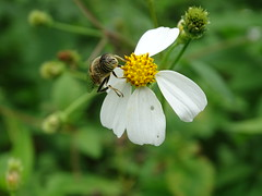 Syrphid on white flower (Shelley Huang) Tags: flowers flower insect whiteflower riverside bee  syrphid