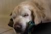A Dog's Life (Rikardo daVinci) Tags: dog pet animal goldenretriever canine retriever sleepy lazy familydog resting dogslife beginnersdailychallengewinner