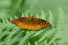 Great Spangled Fritillary (hickamorehackamore) Tags: summer fern june butterfly backyard connecticut ct fritillary 2014 greatspangledfritillary speyeriacybele haddam