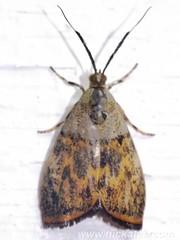 Tiger Moth - (sub)family Arctiidae - NMW 20 July 2014-129 (Dis da fi we) Tags: arctiidae belize jungle moth puntagorda tigermoth toledo wildlife nationalmothweek nationalmoth mothing cottages hickatee