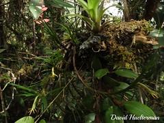 Cryptocentrum sp. (affine a hirtzii) floreciendo in situ, con 1 Stelis sp. y 1 Bromeliaceae, Risaralda, Colombia (David Haelterman) Tags: colombie colombia america amérique américa tropiques tropicos tropical trópics sudámerica amériquedusud southamerica américadelsur orchid orchidée orquídea orchidaceae plant planta plante flor fleur flower