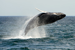 I believe I can fly (OtroPX) Tags: usa animals nikon massachusetts whale whales humpbackwhale breach capeann d610 whalebreach