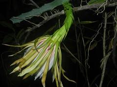 Hylocereus monacanthus (Lem.) Britton & Rose (Reinaldo Aguilar) Tags: ra14946 hylocereusmonacanthus cactaceae dicotyledones