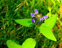 Pretty little thing . . . (Explored) (Dr. Farnsworth) Tags: blue summer flower mi small unknown fernridge byriver dimesized august2014