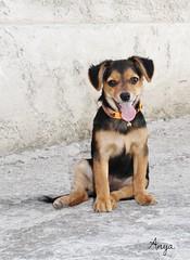 Luna (stefaniazucca) Tags: cane colori ritratto dolcezza coda cucciolo orecchie