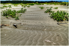 Sand Waves (ScottElliottSmithson) Tags: beach water beauty canon landscape eos washington sand scenery angle pacific wind foliage pacificocean brightlight windswept 7d pacificnorthwest washingtonstate lowangle graysharbor sandwaves graysharborcounty copalisbeach washingtonstateparks beachfoliage eos7d dtwpuck scottsmithson scottelliottsmithson