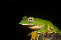 Malabar gliding frog(Rhacophorus malabaricus) (Chaitanya Shukla) Tags: day2 india frog maharashtra pune amboli malabarglidingfrog amboliaug2014