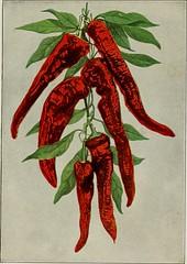 Anglų lietuvių žodynas. Žodis cayenne pepper reiškia juodieji pipirai lietuviškai.