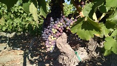 they turnin' purple (sewnwithcare) Tags: grapes napavalley napa