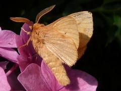 Nachtfalter an Hortensie (Baumgeist) Tags: adelberg