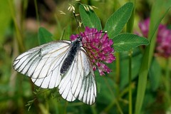 Aporia crataegi (imanh) Tags: white butterfly insect vlinder iman aporia crataegi heijboer blackveined imanh