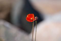 Poppy on the shore (Brian Ritchie) Tags: scotland unitedkingdom poppy gairloch strath