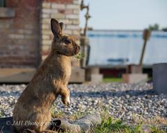 Wascawie Twain Station Wabbit (jah32) Tags: rabbit bunny animal animals nikon trainstation mammals rodents trainstations wabbit d7100