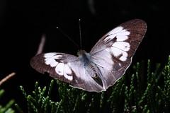 Ixias pyrene insignis (female, wet season form) 異粉蝶 (雌 雨季型) (YoyoFreelance) Tags: pyrene ixias ixiaspyrene 雌白黃蝶 橙粉蝶 異粉蝶