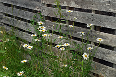 0008212 (To all that visit, Thank you) Tags: flowers canada flower fence nb daisy bloom ©allrightsreserved nbphoto