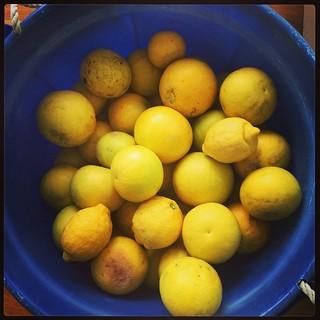 365/220 • this is just half of them! • #2014_ig_220 #somanygrapefruitsolittletime #juice #backyard #winter #citrus #forthefreezer #onelemon