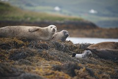 2013-08-05 S9 JB 66241# (cosplay shooter) Tags: x201608 100x dunvegan dunvegancastle scotland sco unitedkingdom uk skye isleofskye greatbritain gb britain landscape seal robbe