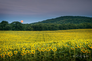 Moonrise and Sunflowers