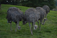 Ostriches (CoasterMadMatt) Tags: park uk greatbritain summer england west bird english grass birds animal animals season mammal photography zoo nikon photos unitedkingdom britain wildlife august exhibit ostrich safari photographs gb british worcestershire creatures creature peck mammals westmidlands exhibits midland attraction ostriches attractions safaripark animalpark flightless enclosure 2014 pecking nikond3200 bewdley enclosures westmidlandsafaripark d3200 westmidland westmidlandsafariandleisurepark coastermadmatt august2014 coastermadmattphotography