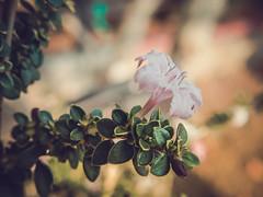Little (FelixHan65) Tags: flowers cold flower color macro beautiful beauty closeup canon freshair eos high cool colorful warm felix vibrant awesome vivid fresh stunning lovely dalat refreshing atmospheric canonpowershot checkitout amaze checkmeout refreshed mountainous hiddenbeauty đàlạt felixhan