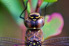 Migrant Hawker waiting for his portrait (MaiGoede) Tags: macro fauna nikon insects makro insekten d800 odonata insecta aeshnidae libellen migranthawker aeshnamixta fedderwardersiel aeschnemixte nikond800 herbstmosaikjungfer mosaikjungfern cmatthiasihriggoede aeschnaalpina libellulacoluberculus