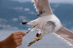 Too Close (Hana Samurai) Tags: urban food bird japan fly seaside wings seagull hunting feathers  prey float shizuoka  survival izu avian atami  glide feedme ferryride    hatsushima   peninnsula