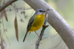 Eastern Yellow Robin (Rodger1943) Tags: birds robins australianbirds easternyellowrobin fz1000