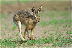 Here comes jack.. (Earl Reinink) Tags: ontario canada game rabbit animal niagara wildanimal earl biggame jackrabbit earlreinink reinink rdhdeurdha